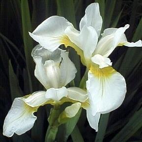 Planter til havedammen Sibirisk iris Snow Queen