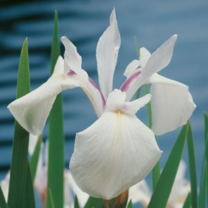 Planter til havedammen Sibirisk iris1