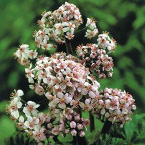 Planter til havedammen Skjoldblad 1