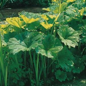 Planter til havedammen Skjoldblad