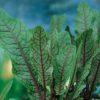 Planter til havedammen Skov Skræppe