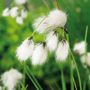 Planter til havedammen Smalbladet kæruld