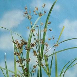 Planter til havedammen Smalbladet papyrus
