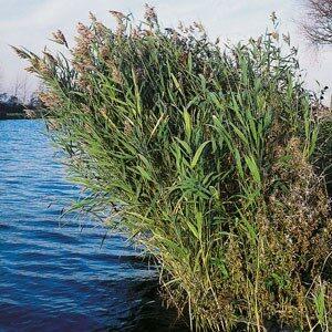 Planter til havedammen Tagrør