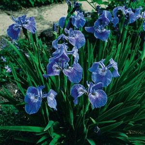 Planter til havedammen Tue iris