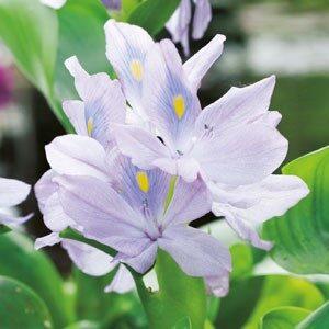 Planter til havedammen Vandhyacint