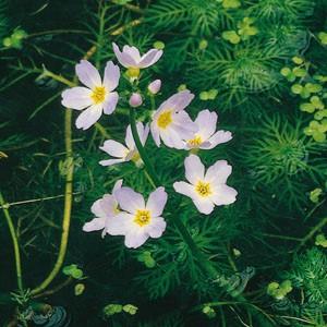 Planter til havedammen Vandrøllike
