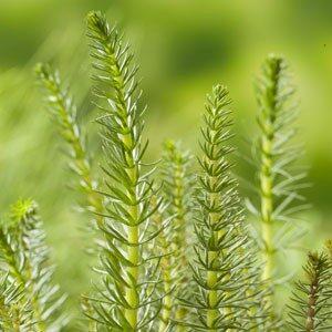 Planter til havedammen Vandspir