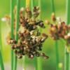 Planter til havedammen blågrå siv
