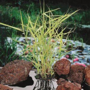 Planter til havedammen tagroer gul