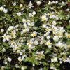 Planter til havedammen vandranunkel 1