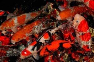 Superkoi fiskeafdeling 5