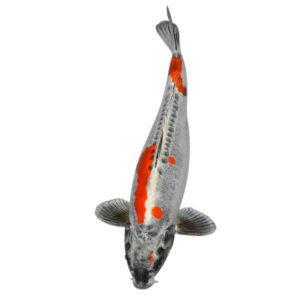fisk havedam koi karper beni kikokuryu