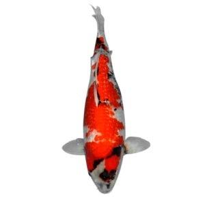 fisk havedam koi karper ginrin showa 1