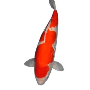 fisk havedam koi karper kohaku 3