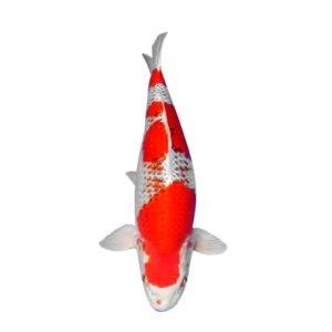 fisk havedam koi karper kujaku 1
