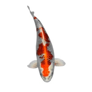 fisk havedam koi karper kujaku 2