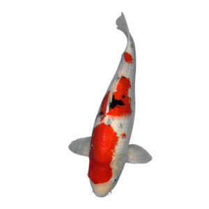 fisk havedam koi karper sanke 3