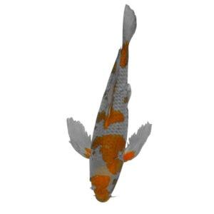 fisk havedam koi karper sommerfuglekoi 2