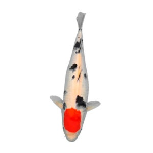 fisk havedam koi karper tancho sanke