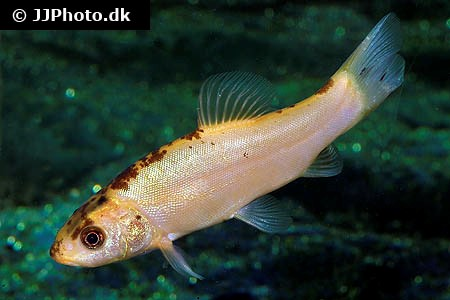fisk til havedammen Guldsuder