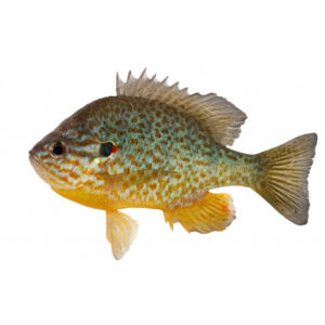fisk til havedammen Solaborre