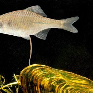 fisk til havedammen bitterling 1