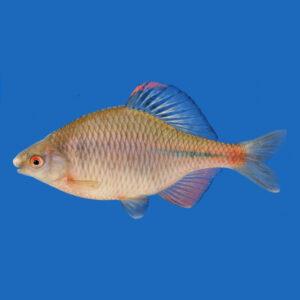fisk til havedammen bitterling