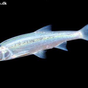 fisk til havedammen blå emde