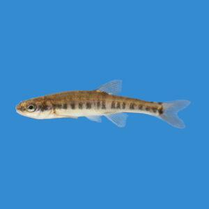 fisk til havedammen elritse