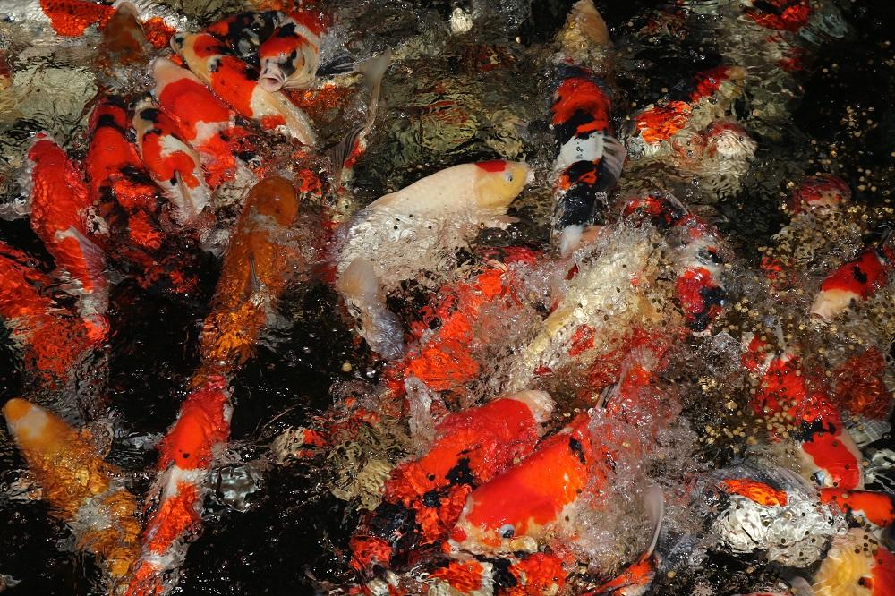fisk til havedammen fodring 3