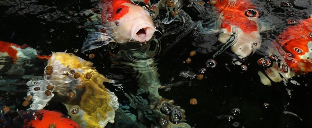 fisk til havedammen fodring