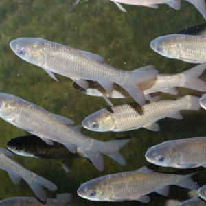 fisk til havedammen graeskarpe 2