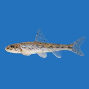 fisk til havedammen grundling