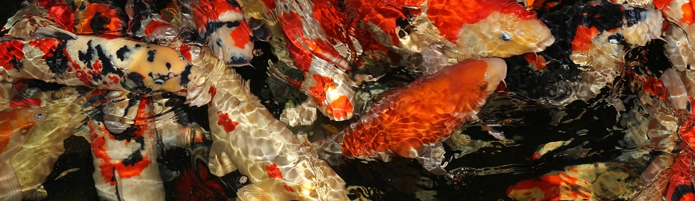 fisk til havedammen koikarper 1
