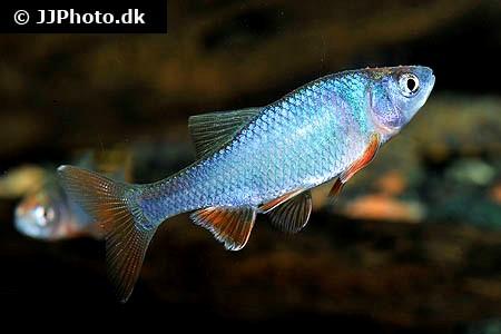 fisk til havedammen nordamerikansk løje