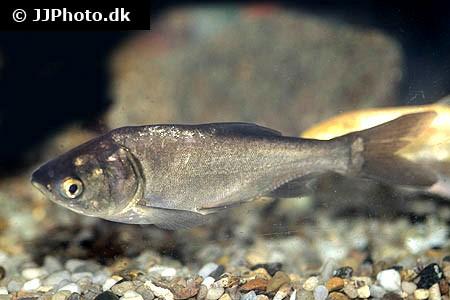 fisk til havedammen soelvkarpe