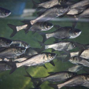 fisk til havedammen soelvkarper