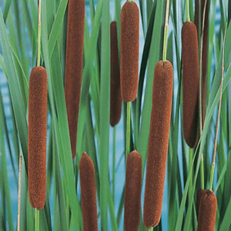 planter til havedammen Bredbladet Dunhammer
