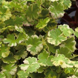 Hydrocotyle sibthorpiodes variegata