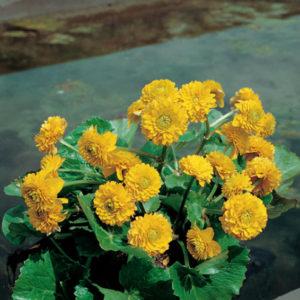 Planter til havedammen Engkabbeleje fyldt