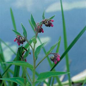 Planter til havedammen Læge kulsukker