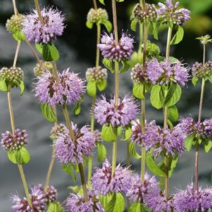 Planter til havedammen Poljemynte