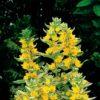 Planter til havedammen Prikbladet fredløs variegata