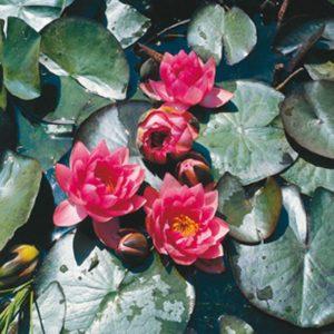 Planter til havedammen nøkkerose James Brydon