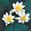 Planter til havedammen nøkkerose Pygmaea alba