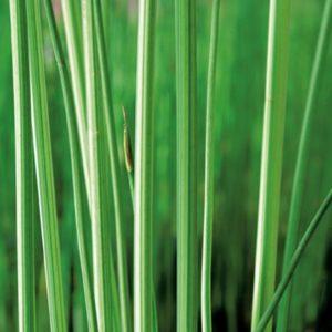 Planter til havedammen stribet søkogleaks