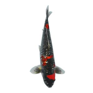 fisk til havedammen koi karper ginrin kuro goshiki