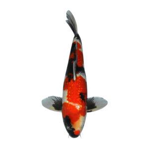 fisk til havedammen koi karper ginrin showa 1