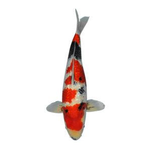 fisk til havedammen koi karper ginrin showa